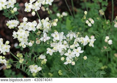 Tuberous Rooted Meadow Rue, Thalictrum Tuberosum, White Flowers With A Blurred Background Of Leaves