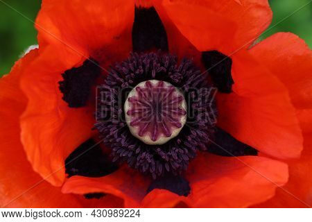 Macro Shot Inside Of Poppy Flowerhead Stamen And Pistil, With Vivid Red Flower Petals Around, High A