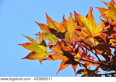 Close Up Autumn Colors Of Red, Orange And Yellow Japanese Acer Or Maple Leaves Over Clear Blue Sky,