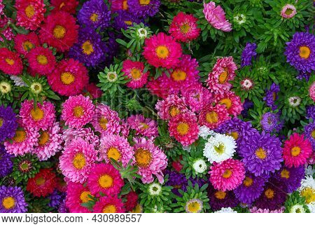 Close Up Background Of Many Fresh Multicolored Small Chrysanthemum Flowers, Elevated Top View, Direc