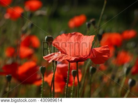 Close Up Backlit Red Poppy Flowers In Green Field, Low Angle Side View