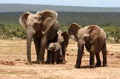 African elephant mother with it's young offspring and friend poster