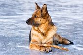 German shepherd with stick lying on the ice poster