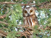 A surprised Northern Saw-whet Owl in Eastern Washington poster