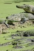 alligators resting in swamp in everglades national park poster
