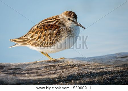 Sandpiper, Jamaica Bay Wildlife Refuge, New York