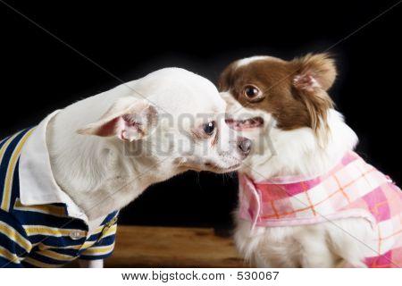 Chihuahua Secret