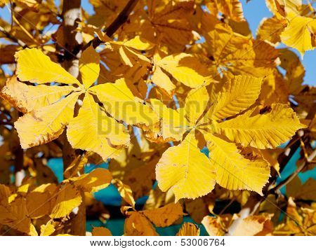 Yellow Leaves Of Horse Chestnut Tree