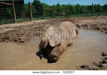 Pig In Mud.jpg