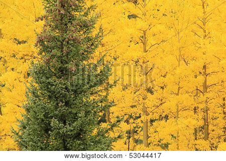 Aspen Trees With Fall Color, Uncompahgre National Forest, Colorado