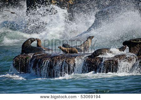 Sea Lions Frolic in Rocky Surf
