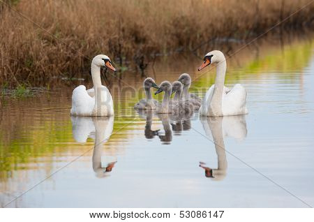 Mute swan family enjoying summer evening on river poster