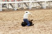 a rodeo participant ties off a calf in the calf roping competition. poster