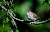 Young Chipping Sparrow Perched on a Branch poster
