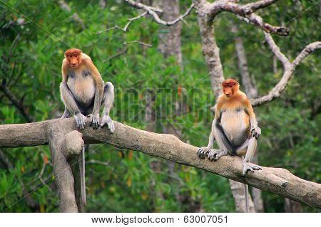 Proboscis Monkeys Sitting On A Tree, Borneo, Malaysia