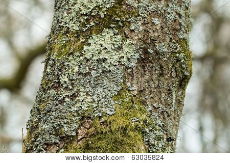 Lichen and moss growing on tree in English woodland. poster