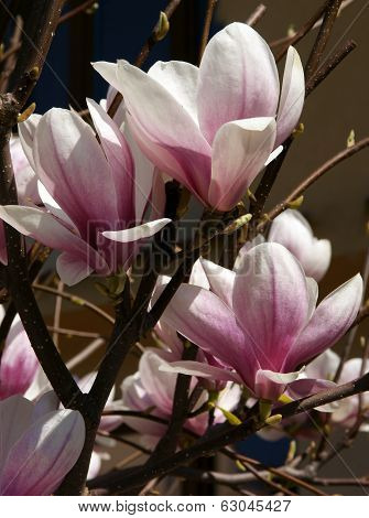 pretty,pink flowers of blooming magnolia tree