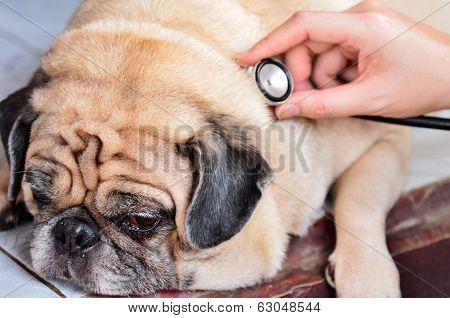 Cute Pug Dog Checkup