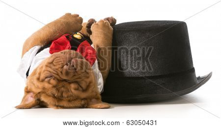 cute puppy - dogue de bordeaux puppy wearing tuxedo laying down sleeping beside tophat