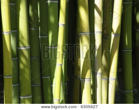 A peaceful bamboo grove with bamboo stalks in bright sunlight poster