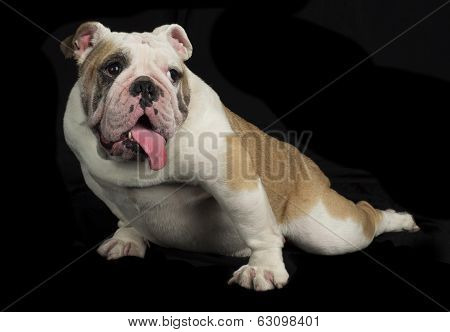 English Bulldog on black background