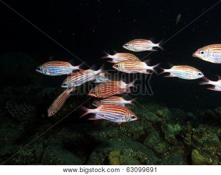 Crown squirrelfish school