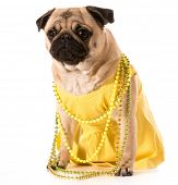 female pug wearing yellow sundress and beads isolated on white background poster