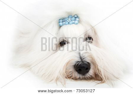 Pretty isolated young Cotton de Tulear whelp wearing blue ribbon.