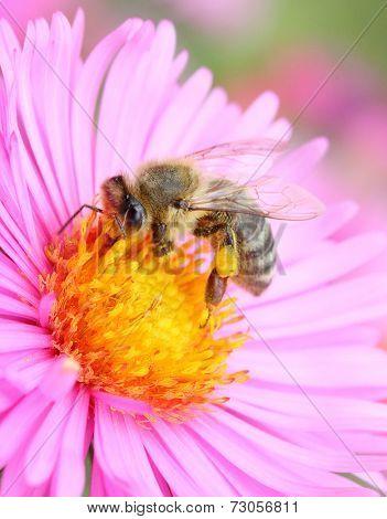 The European honey bee (Apis mellifera) pollinating of The Aster (Symphyotrichum dumosum).  poster