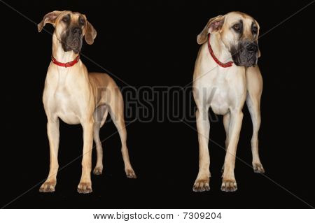 Two Brazilian Mastiffs (fila Brasileiro) Standing Side By Side, Front View