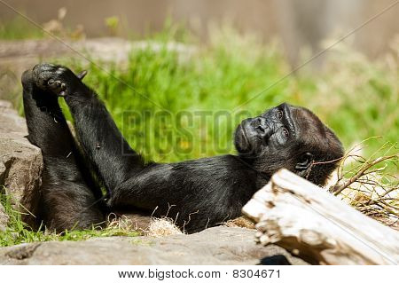 Western Lowland Gorilla is resting on her back on a sunny afternoon. poster