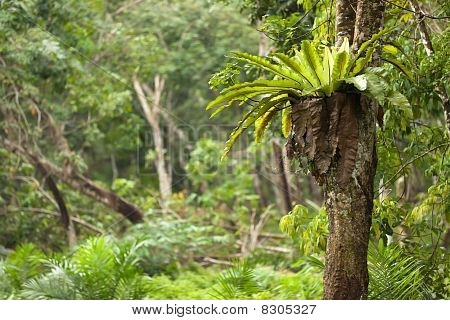 Tropical Epiphyte Fern