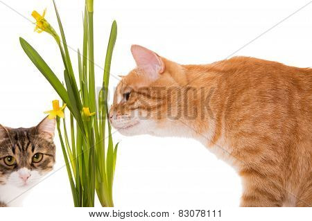 Orange and grey cats sniff daffodils isolated on white poster