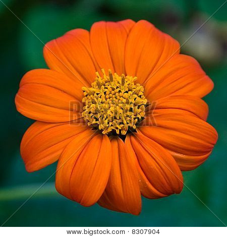 Mexican Sunflower Bloom
