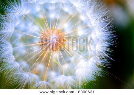 Close-up Large Dandelion