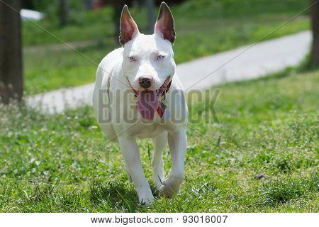 American pit bull terrier running.