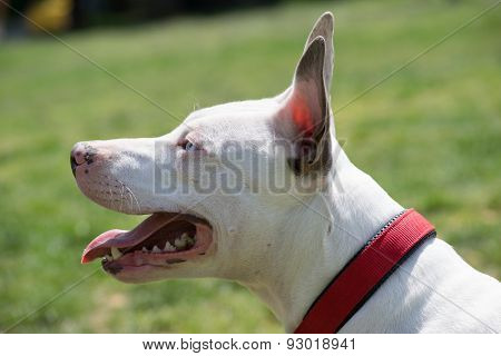 Portrait of a white American pit bull terrier with blue eyes.