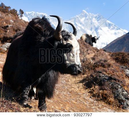 Yak On The Way To Everest Base Camp And Mount Lhotse