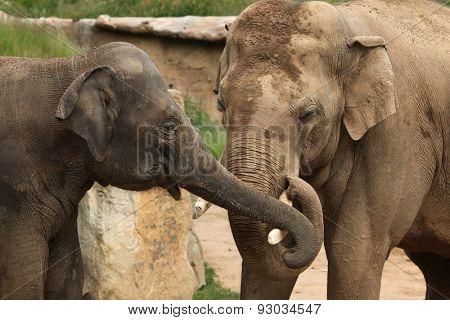 Two Indian elephants (Elephas maximus indicus). Wildlife animals.
