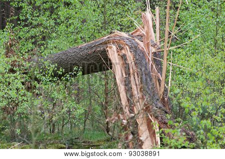 broken tree in forest, surrounded by fresh young green trees