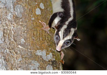 Striped Possum, Queensland, Australia, Flash Photography