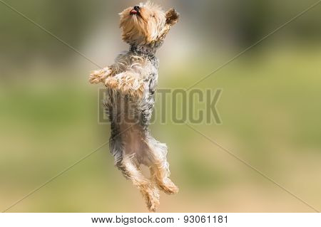 Yorkshire terrier jumping and flying with it's tongue out.