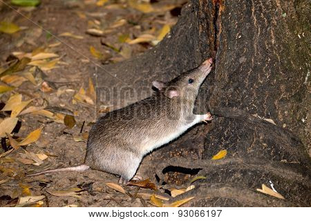 Nocturnal Long-nosed Bandicoot, Queensland, Australia