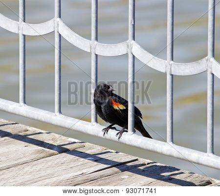 The Red-winged Blackbird Male