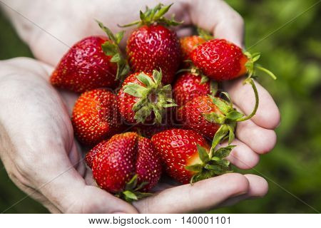 Closeup of male hands holding strawberries on green grass background