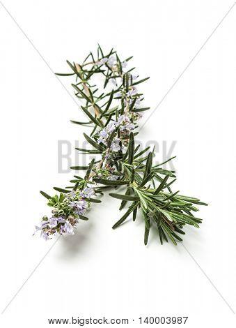 Twig of rosemary on white background