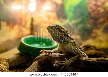 bearded dragon sitting on a branch in the terrarium
