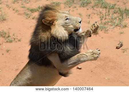 Lion Male, Namibia