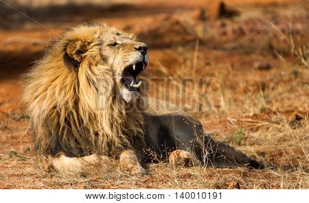 African male lion lying and roar with teeth visible