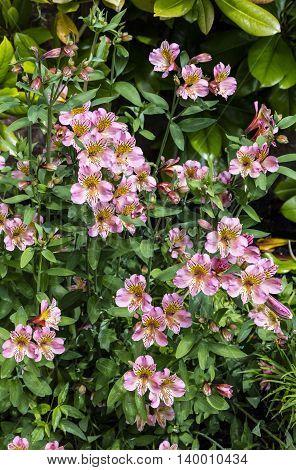 Pink Alstromeria flowering plant in a garden.